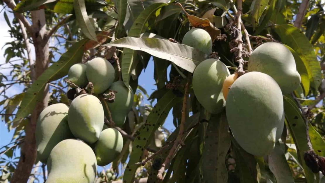 Se cae el mercado para el mango sinaloense