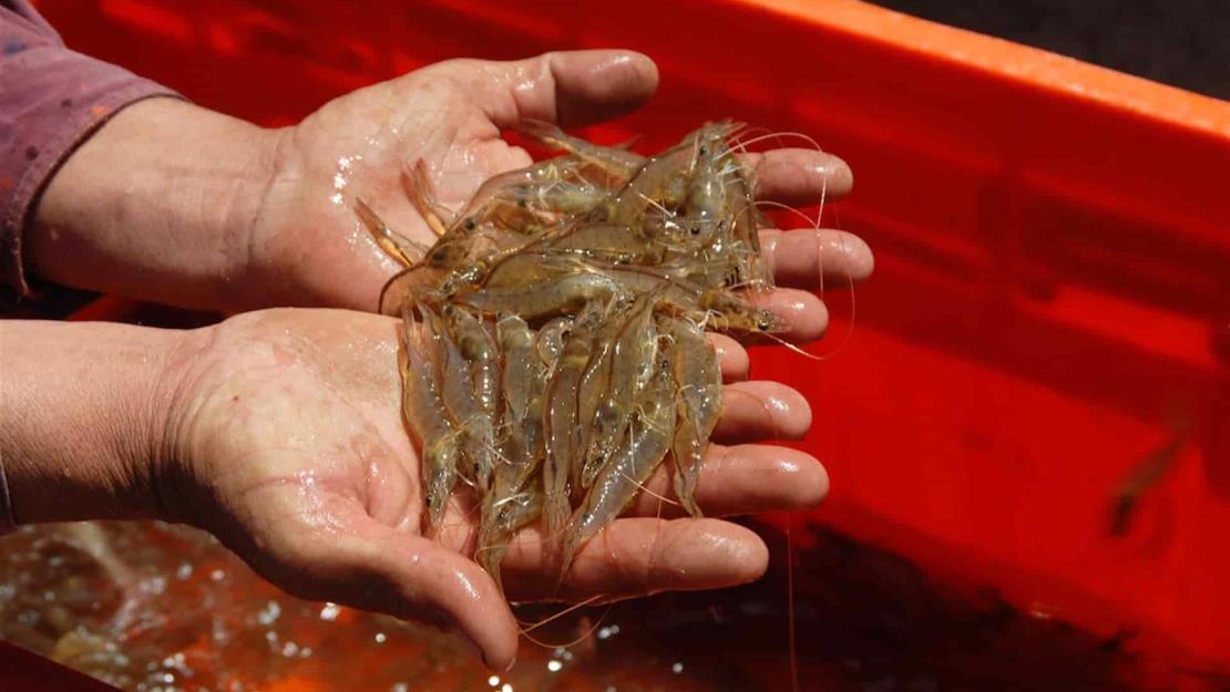 Veda de camarón inicia el 15 y 20 de marzo en México