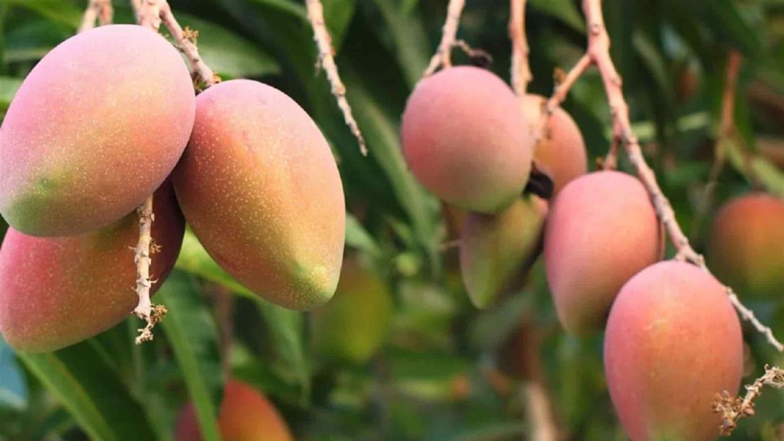 Producción de mango podría caer hasta un 50 % este año