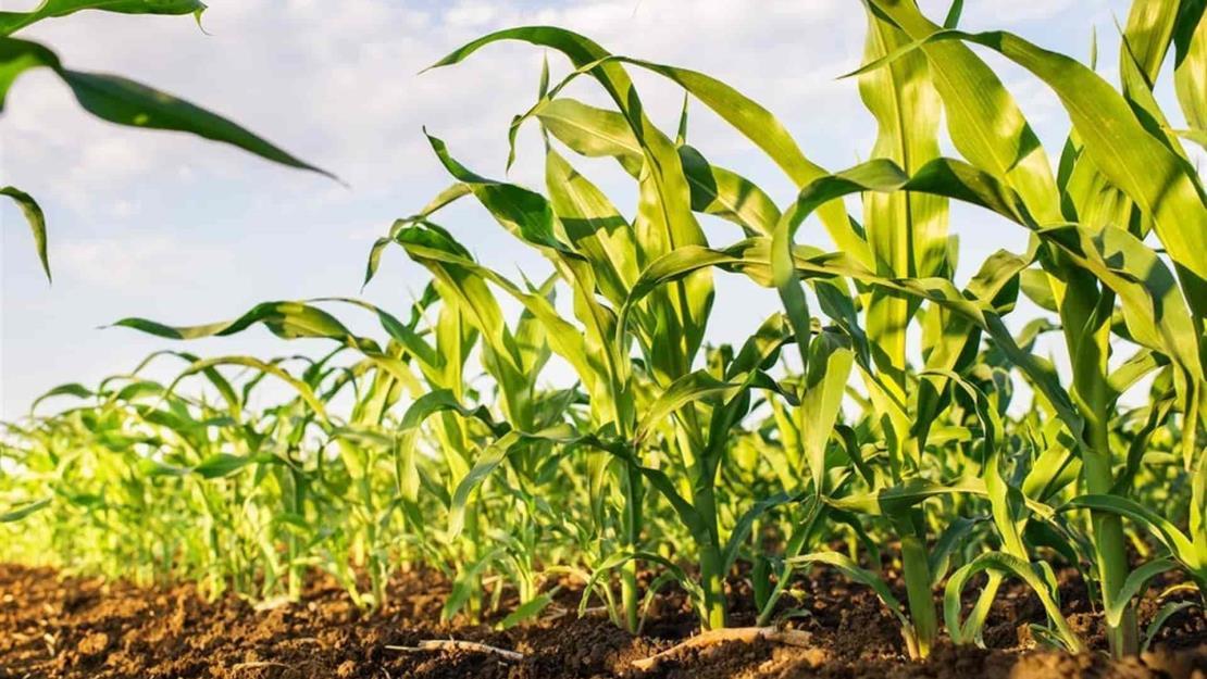 Inician siembras de maíz en EUA