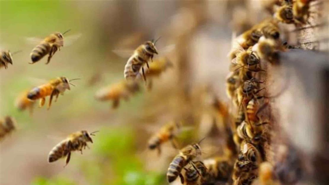¡No las mates! Apicultores irán hasta tu casa a salvar a las abejas