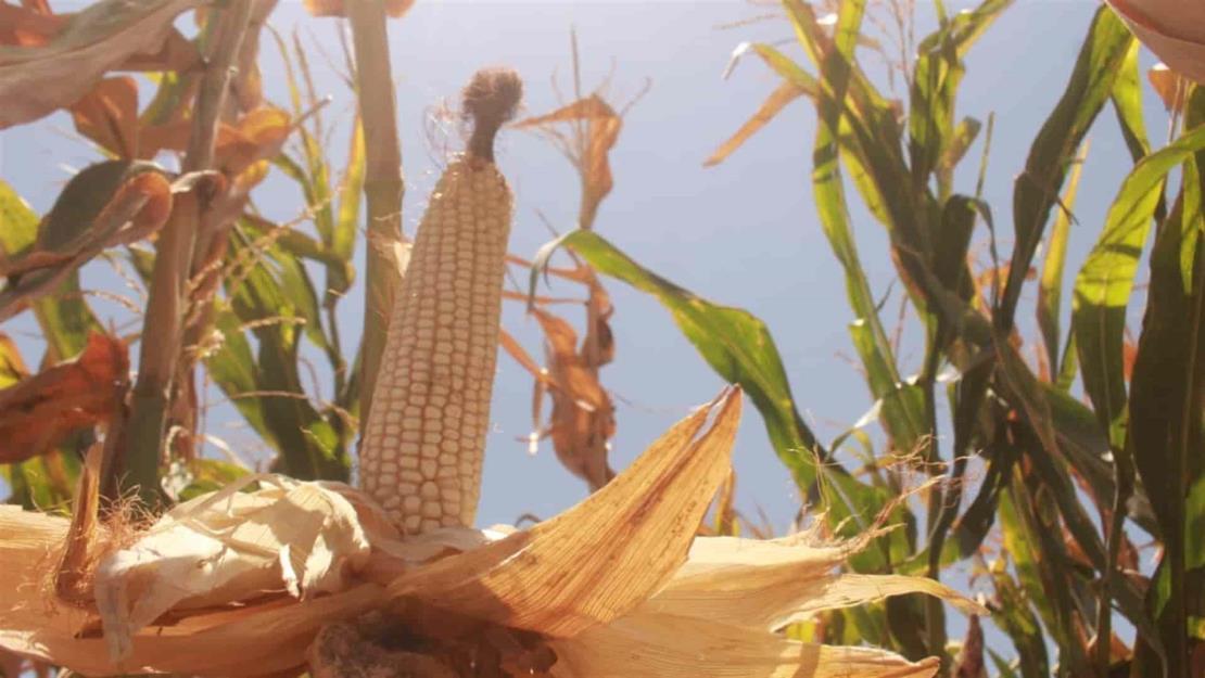 Se desploma precio del maíz
