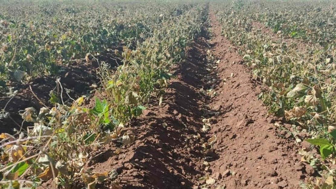 Solo daños parciales en cultivos por el frío: Cesavesin