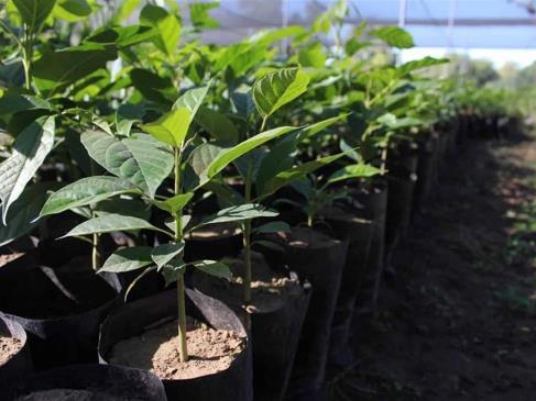 Sedesu plantará árboles en el Hospital Civil de Culiacán