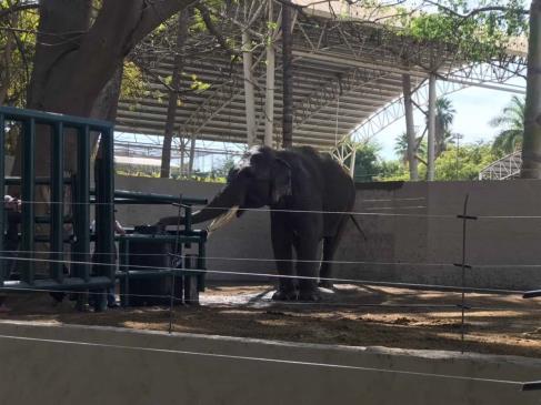 Llega el elefante asiático Big Boy al ZOO de Culiacán