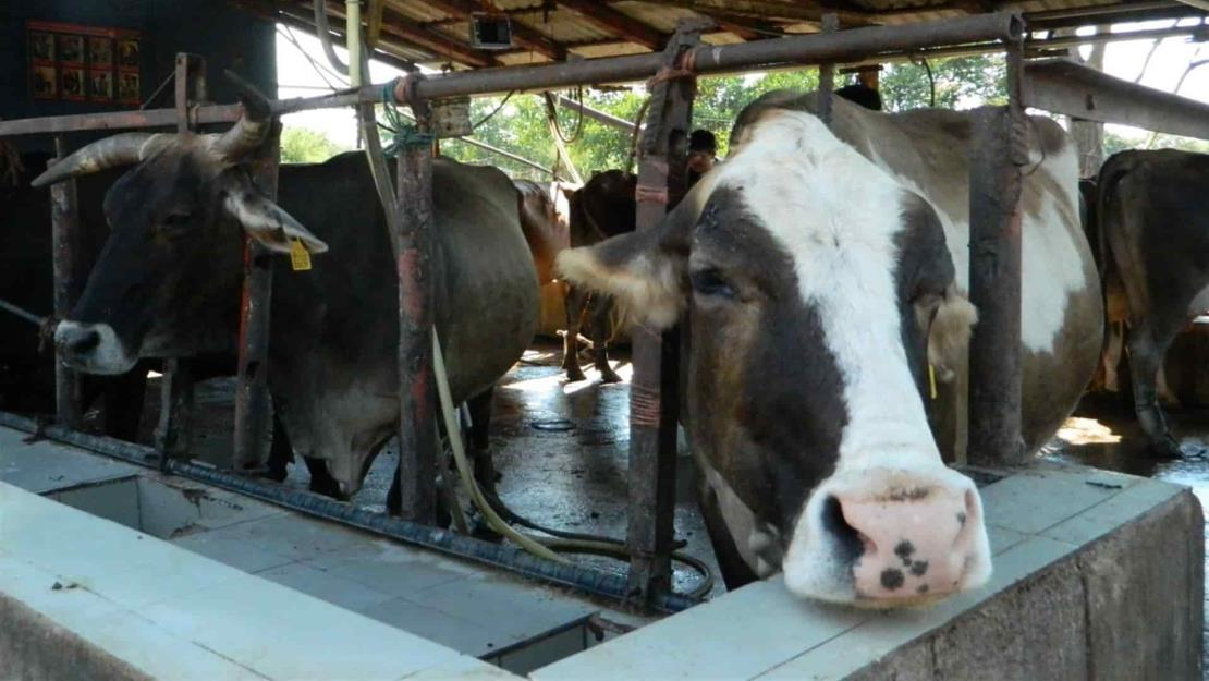 Por sequía y falta de alimento se vende el ganado en Mazatlán