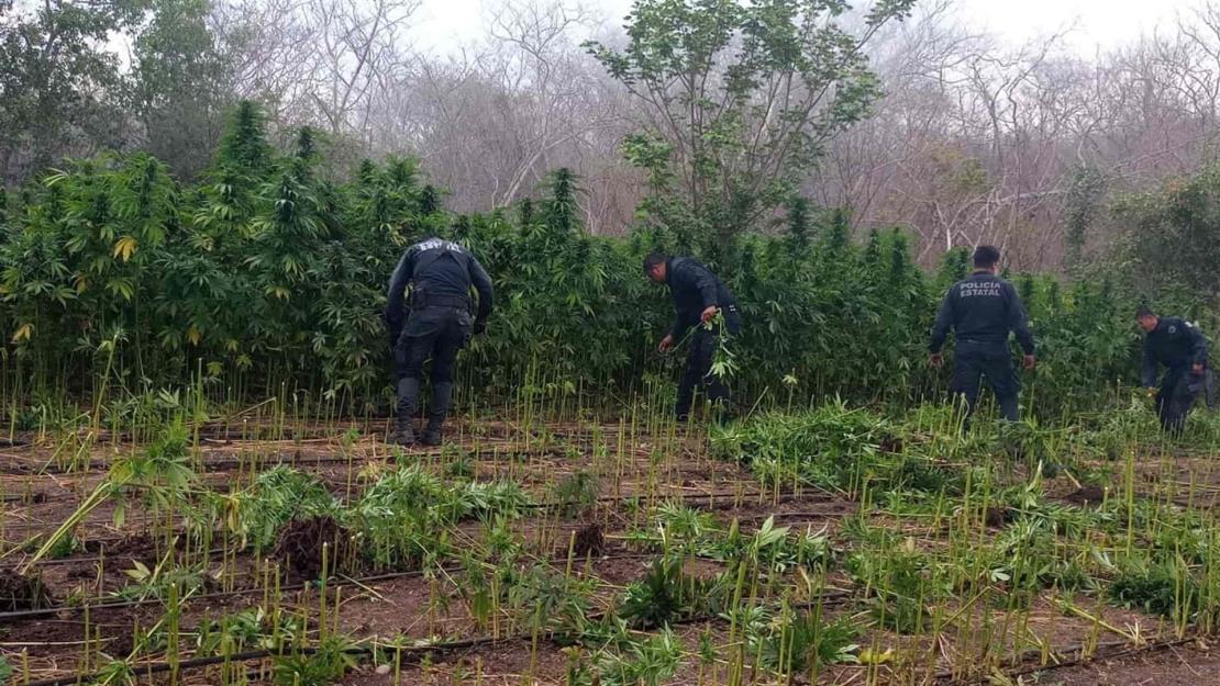 Policía Estatal localiza y destruye plantíos de presunta mariguana en Mazatlán