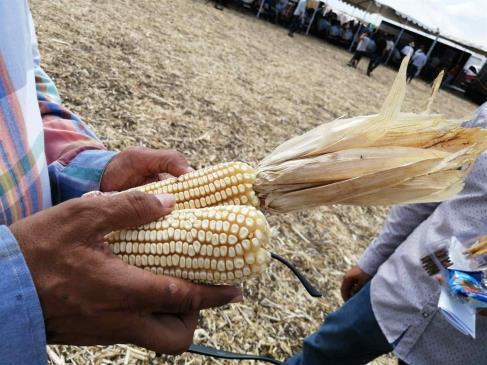 Cosechan 600 hectáreas de maíz blanco sin glifosato en Sinaloa