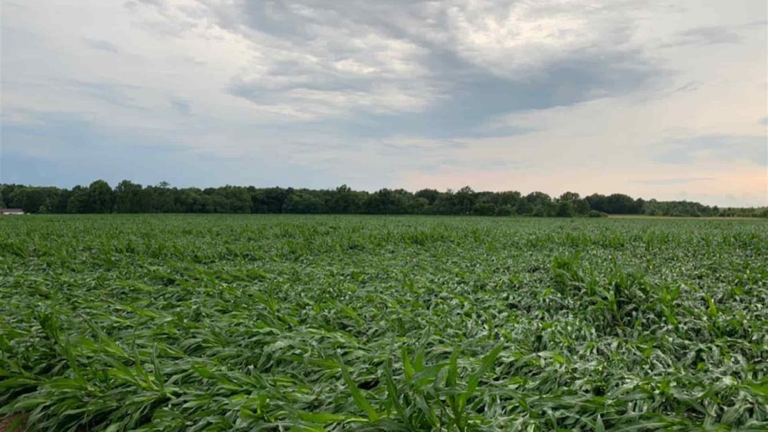 Empeoran las condiciones de maíz en EUA