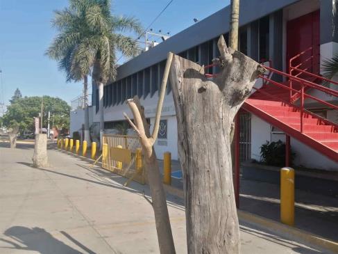 Atiende Medio Ambiente de Ahome queja de poda de árboles en Independencia y Colegio Militar