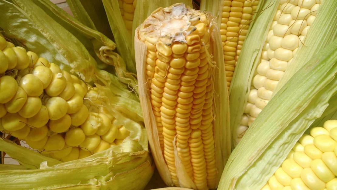 Importaciones de maíz incrementaron 23% en los últimos 3 años