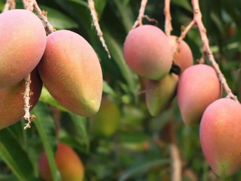 Le come el mandado Nayarit a productores de mango sinaloense